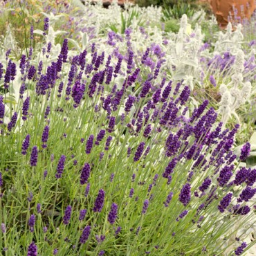 Lavender at Hestercombe